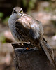 07. Galápagos Mockingbird---Santa Cruz Island.