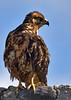 06. Galápagos Hawk---Española Island.