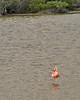 11. Greater Flamingo---Isabela Island.