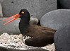09. American Oyster Catcher---Española Island.