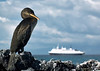 01. Flightless Cormorant with the M.S. Polaris in the background.