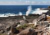 16. Nazca Booby and blowhole---Española Island.