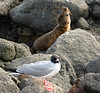 04. I'm ignoring you!<br /> Swallow-tailed Gull and Galápagos Sea Lion---North Seymore Island.