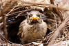 Finch fledgling