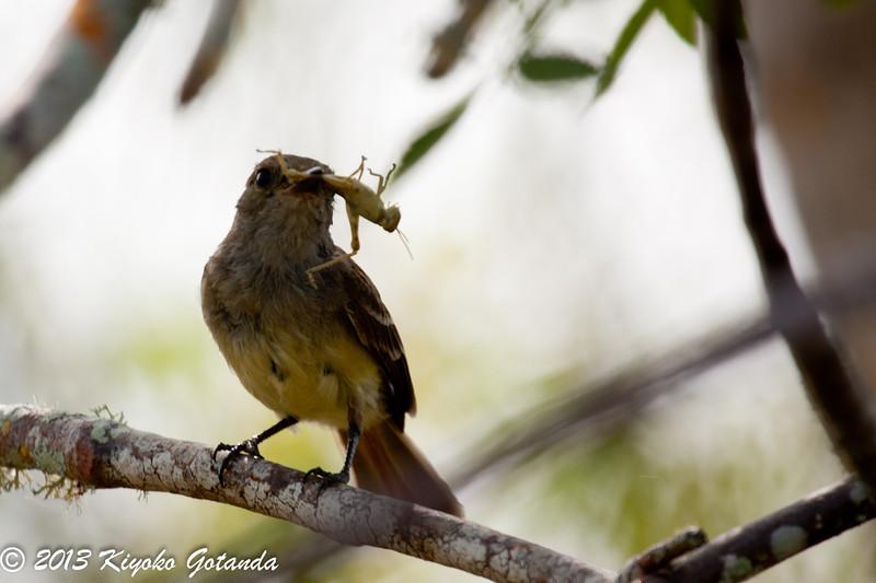 Flycatcher eating a grasshopper