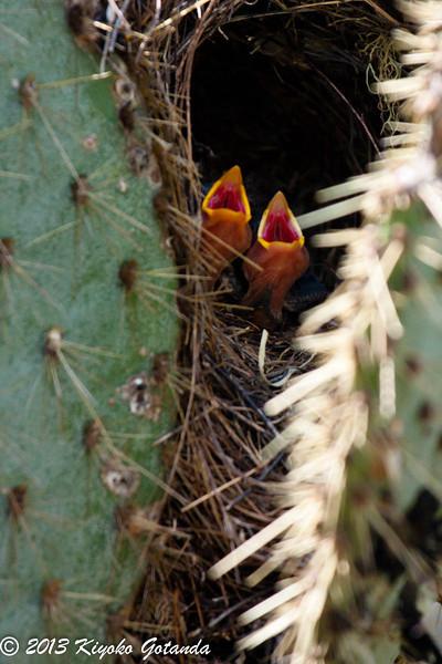 Finch nestlings