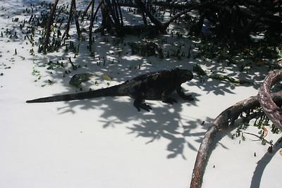 Marine Iguana at Turtle Bay