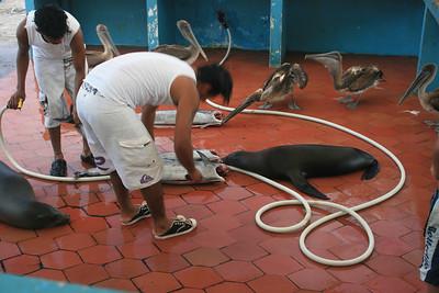 Sea lions & pelicans waiting for fish scraps in Puerto Ayora.
