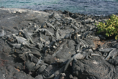 Marine iguanas on Fernandina, Espinoza Point