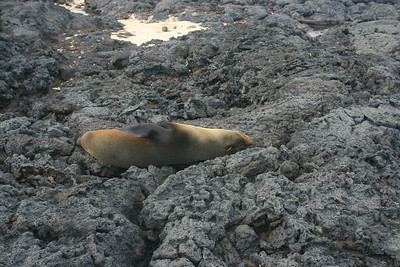 Sea lion sleeping upside down