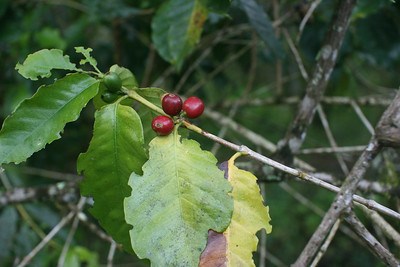 Coffee beans, ripe and unripe