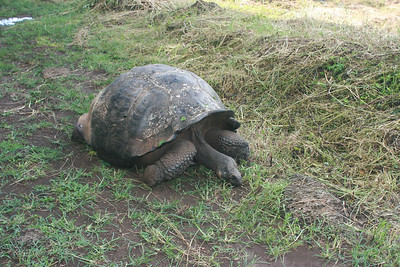 Giant tortoise in the highlands of Santa Cruz.