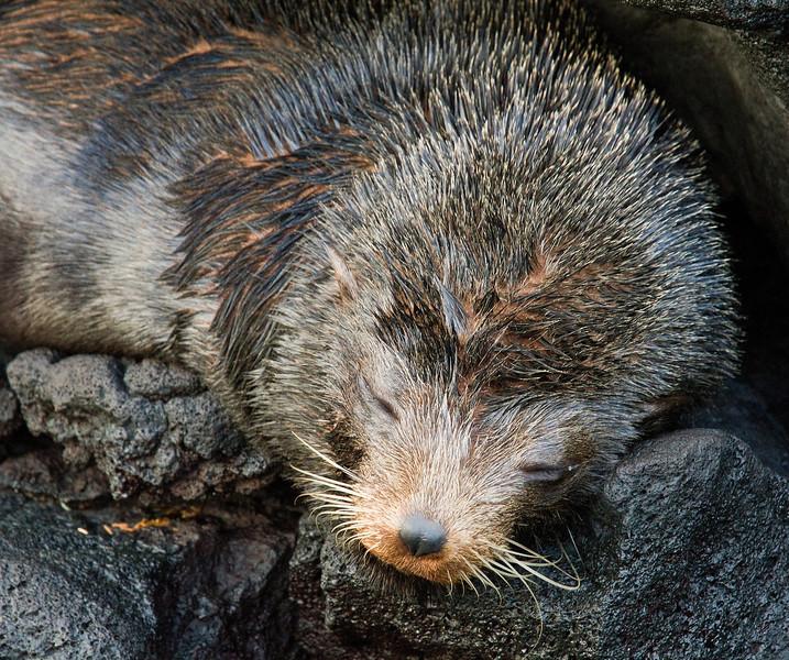Fur Seal (Santiago Island)