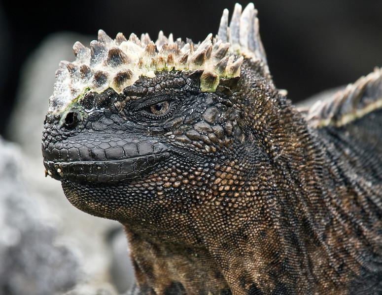 Marine Iguana (Fernandina Island)