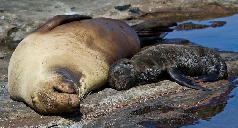 Sea Lion and newborn pup (Santiago Island)