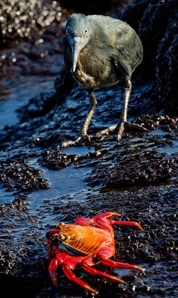 Heron and Sally Lightfoot Crab (Santiago Island)
