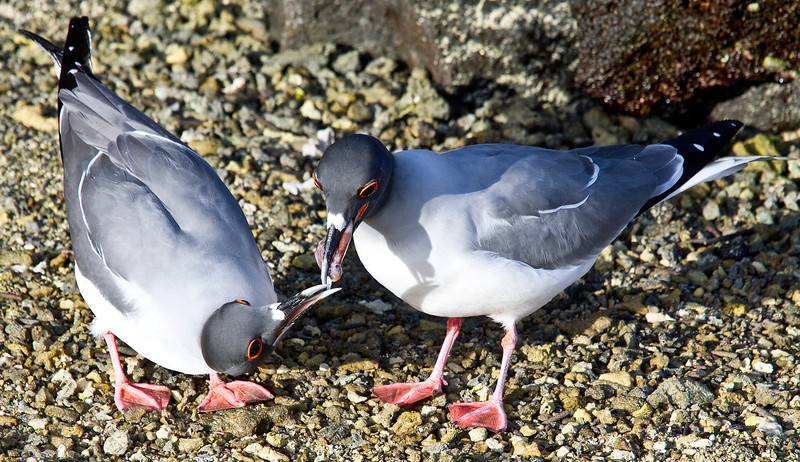 Swallow Tailed Gulls courting (Tower Island)