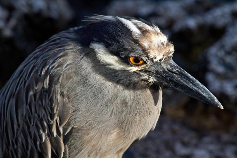 Night Heron (Santiago Island)