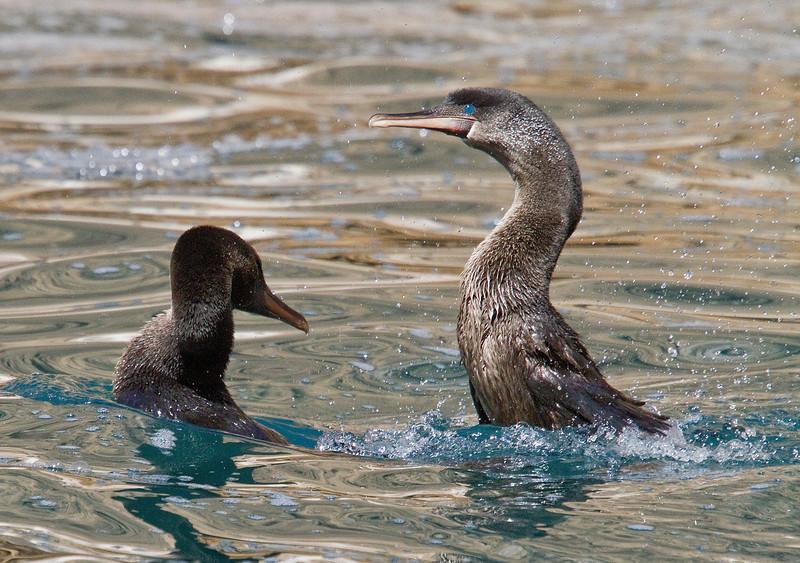 Flightless Cormorants courting (Fernandina Island)