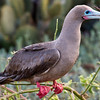 Red Footed Booby (Tower Island)