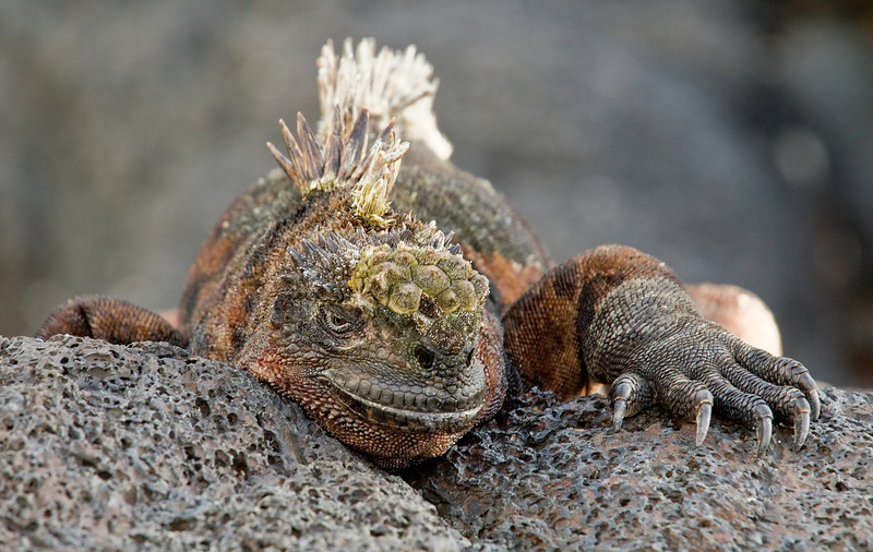 Marine Iguana (Santiago Island)
