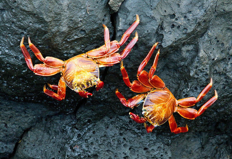 Sally Lightfoot Crabs (Santiago Island)