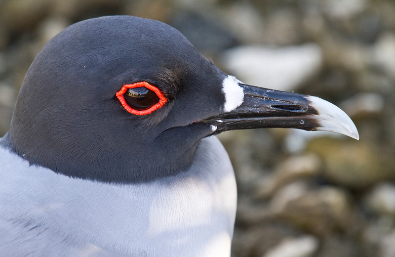 Swallow Tailed Gull (Tower Island)