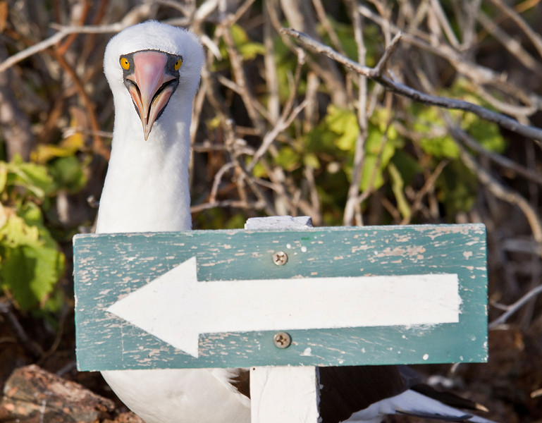 Nazca Booby (Tower Island)