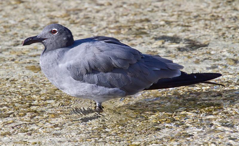 Lava Gull (Tower Island)
