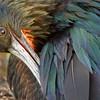 Frigatebird (Tower Island)