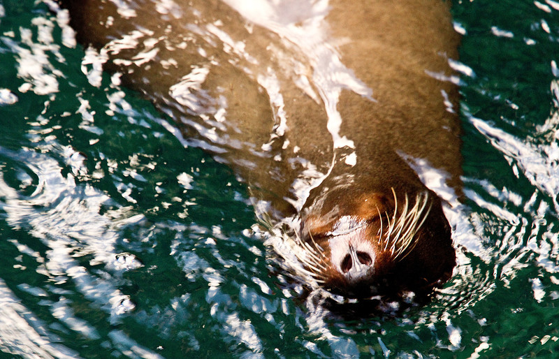 Sea Lion (Santiago Island)