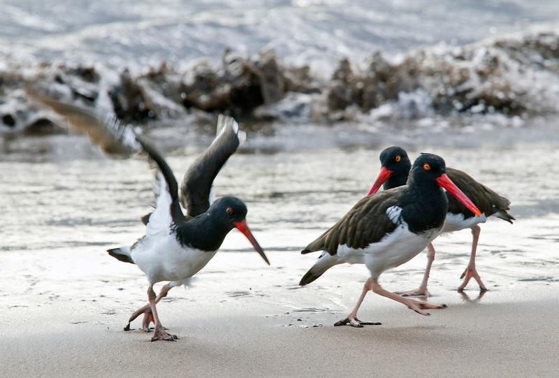 American Oystercatchers (Santiago Island)
