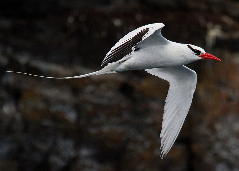 Tropicbird (Tower Island)