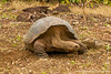 Galapagos Giant Tortoise, San Cristobal Sub-species