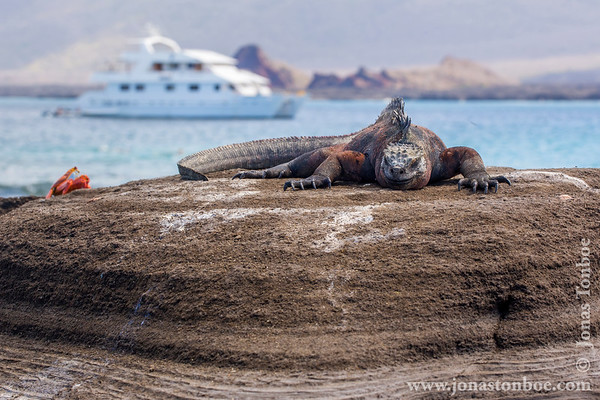 Santiago island. Puerto Egas: Marine Iguana, Santiago sub-species (Amblyrhynchus cristatus mertensis)