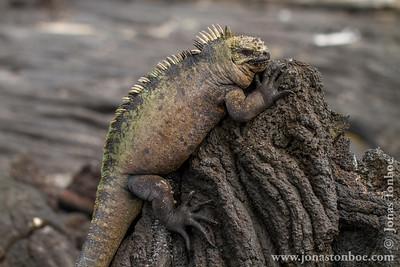 Fernandina island. Espinoza Point: Marine Iguana, Fernandina sub-species (Amblyrhynchus cristatus cristatus)