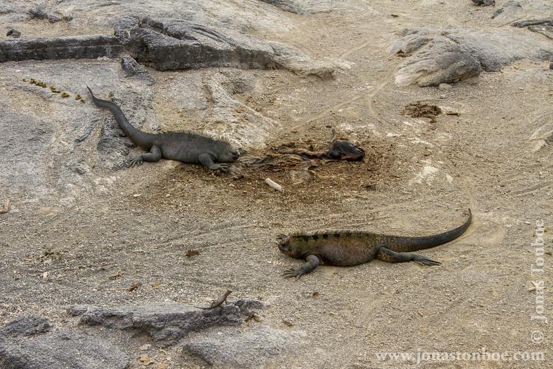 Marine Iguana, Fernandina sub-species and Lava Lizard at dead Galapagos Sea Lion