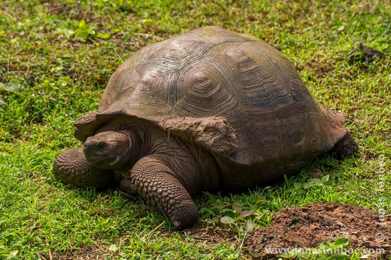 Galapagos Giant Tortoise, Santa Cruz Sub-species