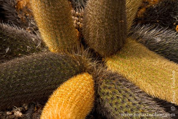 Isabela island. Moreno Point: Lava Cactus (Brachycereus nesioticus)