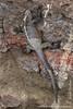 Marine Iguana, Fernandina Sub-species