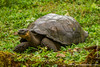 Galapagos Giant Tortoise, Santa Cruz Sub-species