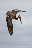 Isabela island. Elizabeth Bay: Brown Pelican (Pelecanus occidentalis) launching a dive