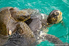 Green Sea Turtles Mating