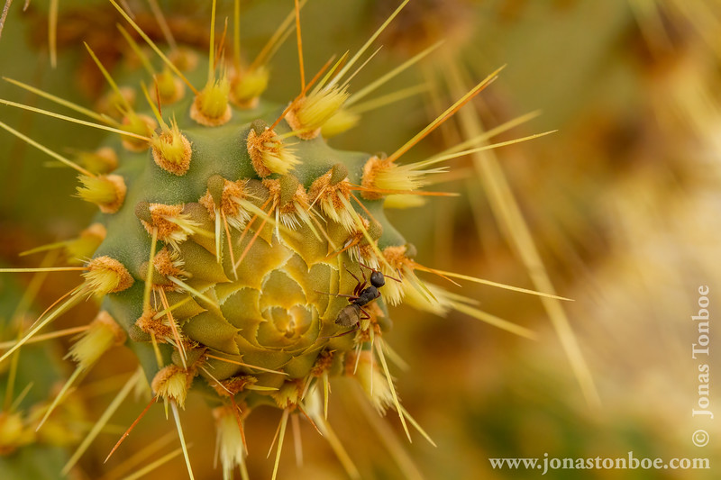 Giant Prickly Pear Cactus and Ant