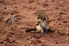 Galapagos Mockingbird Fight