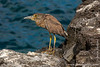 Santiago island. Puerto Egas: Yellow-crowned Night Heron (Nyctanassa violacea)