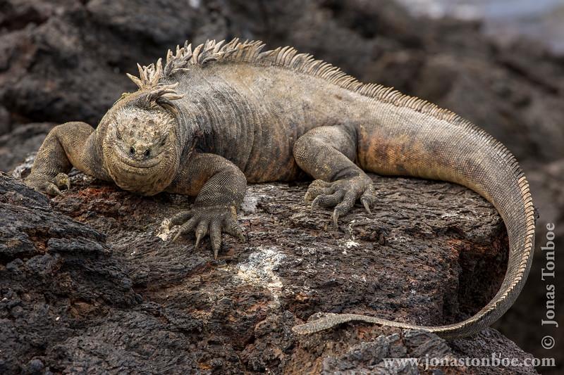 Marine Iguana, Isabela Sub-species