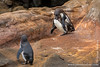 Galapagos Penguin Mating