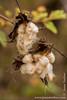 Galapagos Cotton
