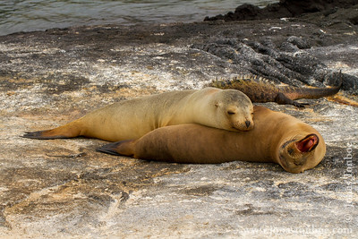 Fernandina island. Espinoza Point: Galapagos Sea Lion (Zalophus wollebacki)